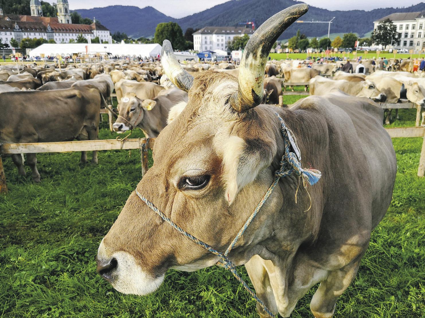 Bezirk Einsiedeln sagt  Viehausstellung ab