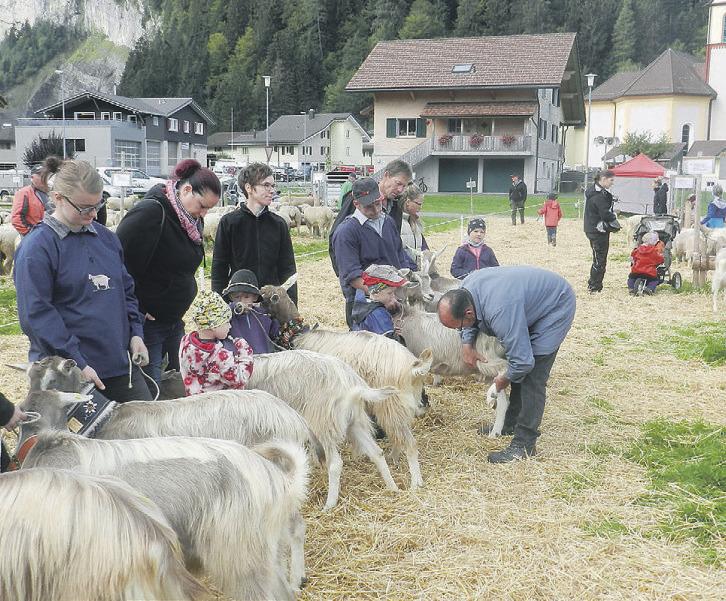 Bezirk Schwyz sagt  Viehausstellungen ab
