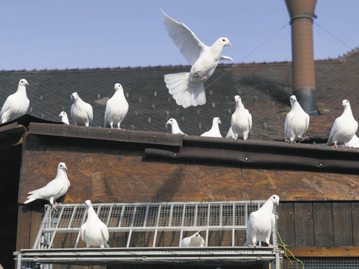 Die weissen Tauben fliegen f fort