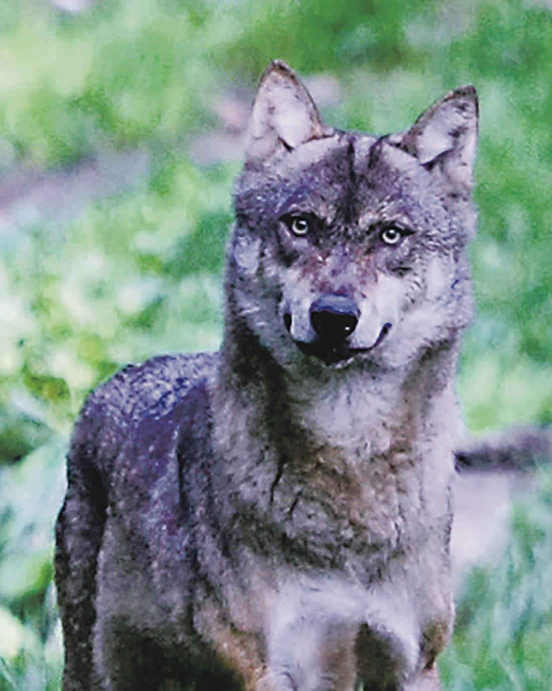 «Der Wolf hat einen positiven  Einfluss auf die Artenvielfalt»