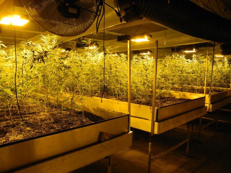Rothenthurm: Rund 1000 Hanfpflanzen sichergestellt