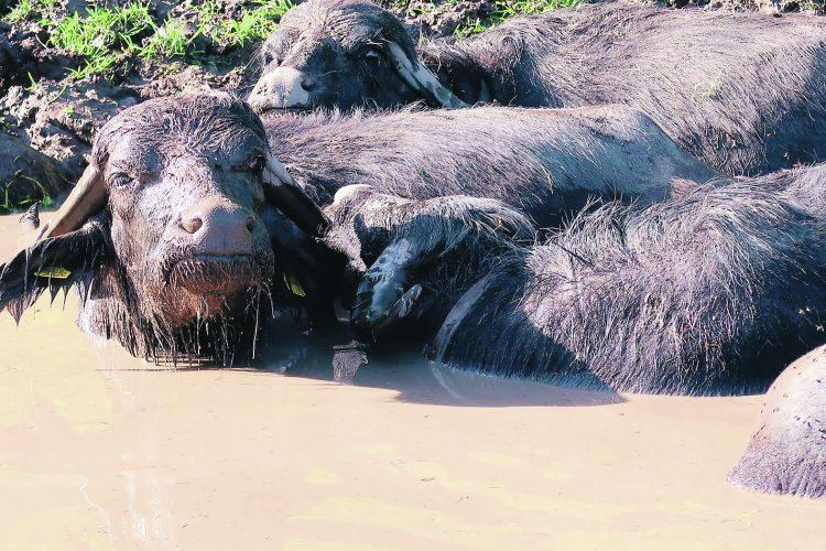 Wasserbüffel sömmern im Ybrig
